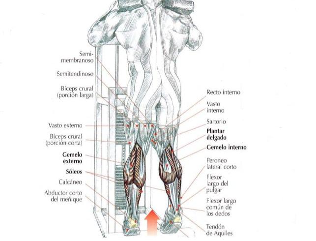 Músculos implicados