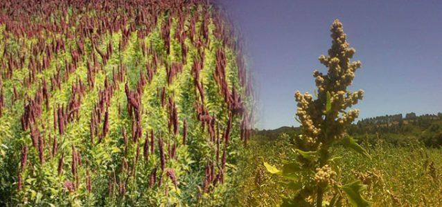 plantas-de-quinoa