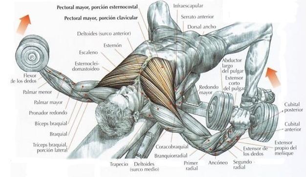 Aperturas con mancuernas musculo