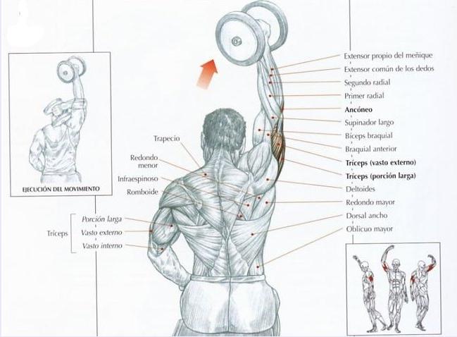 Extensiones verticales de brazos musculos