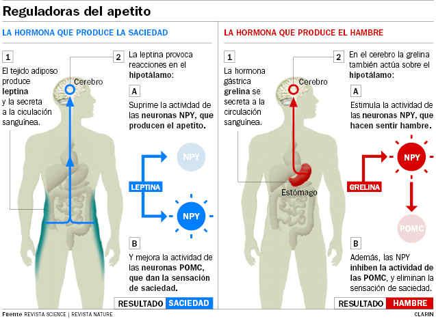 Regula apetito leptina