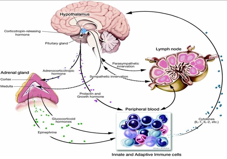 corticotropina