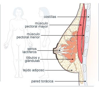 anatomia pectorales