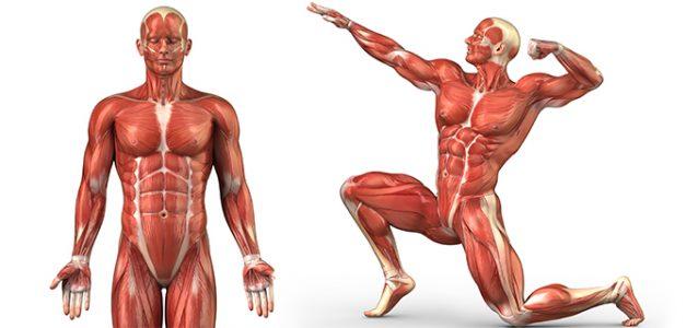 Qué es la masa muscular?